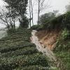 Mengding Ganlu Printemps - Sichuan 10gr